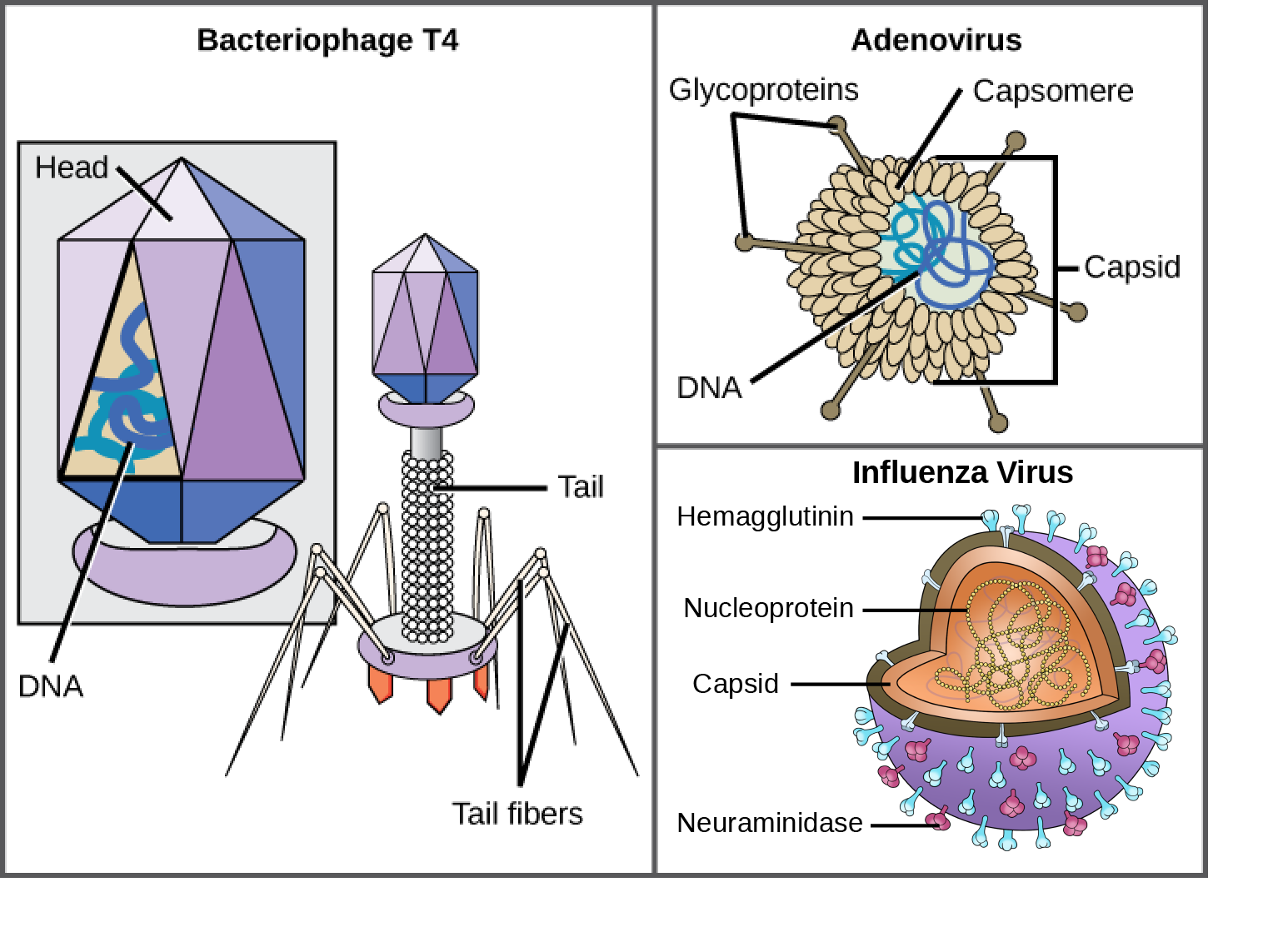 Illustration a shows bacteriophage T 4, which houses its D N A genome in a hexagonal head. A long, straight tail extends from the bottom of the head. Tail fibers attached to the base of the tail are bent, like spider legs. In b, adenovirus houses its D N A genome in a round capsid made from many small capsomere subunits. Glycoproteins extend from the capsomere, like pins from a pincushion. In c, the H I V retrovirus houses its R N A genome and a bullet-shaped capsid. A spherical viral envelope, lined with matrix proteins, surrounds the capsid. Two different varieties of glycoprotein spike are embedded in the envelope. Approximately 80 percent of the spikes are hemagglutinin. The remaining 20 percent or so of the glycoprotein spikes consist of neuraminidase.
