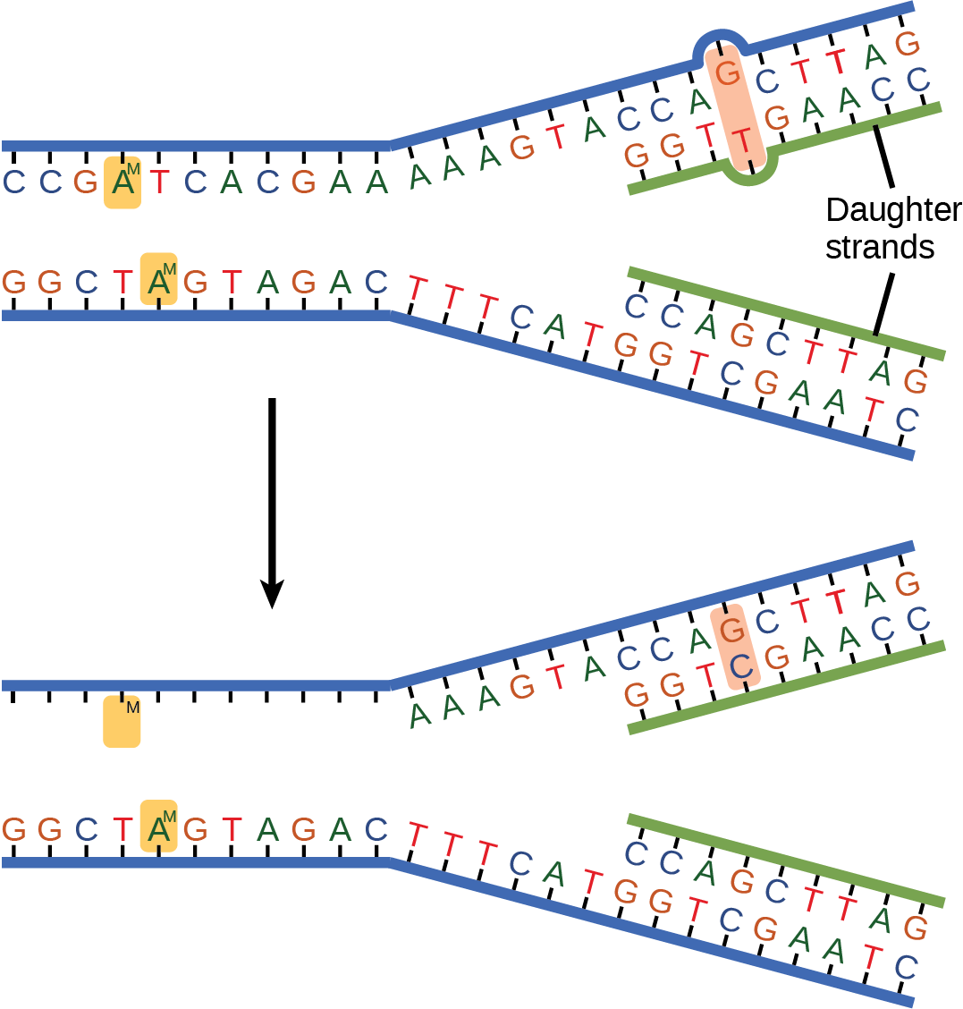 The top illustration shows a replicated D N A strand with G T base mismatch. The bottom illustration shows the repaired D N A, which has the correct G C base pairing.