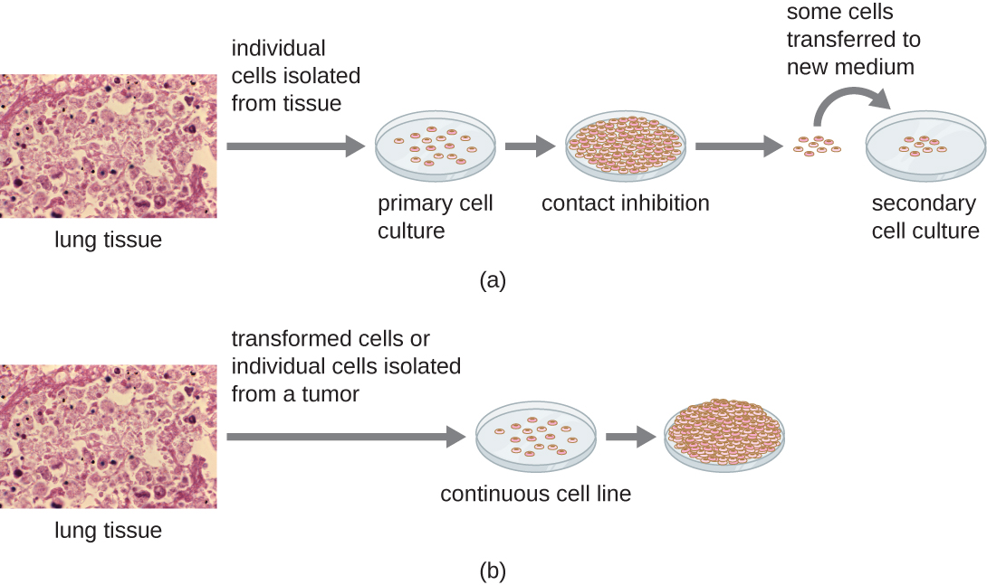Figure a begins with induvial cells isolated from lung tissue. These few cells are put on a plate and are the primary cell culture. These cells will grow to fill the plate and will stop when the plate is full; this is called contact inhibition. In order to grow more cells some of these cells are transferred to a new plate; this is now called a secondary cell culture. Figure b begins with transformed cells or individual cells isolated from a tumor that are put on a plate. These cells form a continuous culture because they continue to grow on top of each other even after the plate is full.