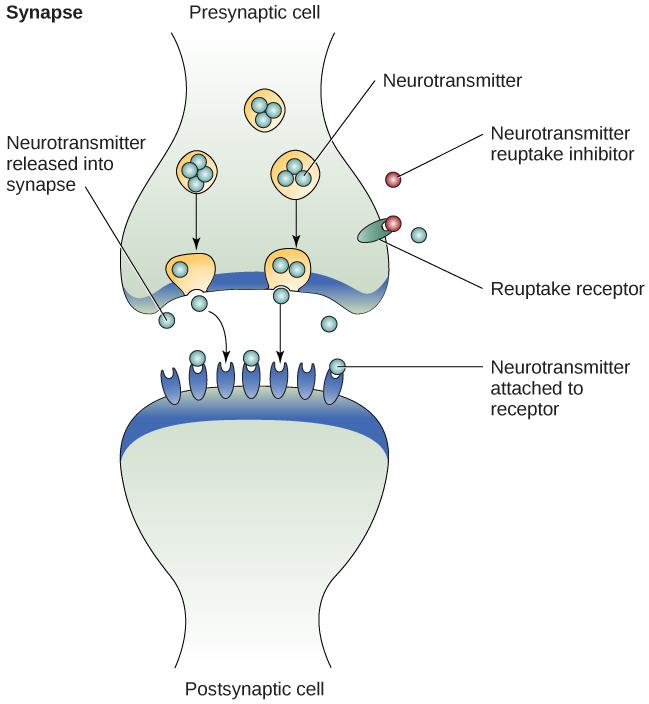 An illustration shows the synaptic space between two neurons with neurotransmitters being released into the synapse and attaching to receptors.