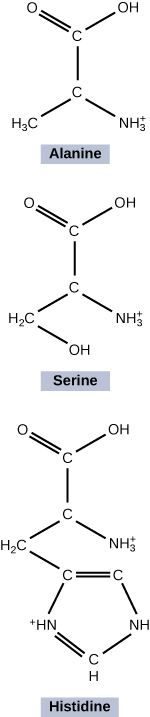 The figure shows alanine, serine, and histidine molecules. The Alanine and Serine molecules are forming a peptide bond to become Histidine. Alanine is make up of two C atoms arranged in a straight line. The top C atom is connected to two O atoms on the left side and a OH atom on the right side. The bottom C atom is connected on the bottom right side with H3c atom on the left side and a NH3 atom on the right side. When this Alanine molecule is joined by the Serine molecule it is connected by an OH atom diagonal from the H3c atom. When becoming Histidine, the OH atom is turned into a C atom and connected by a double bond. This C atom connected to another C atom by a double bond is then connected by a single bond to the NH atom and then to a single CH atom, then to a double bond HN atom and finally that is connected back to the C atom by a single bond.
