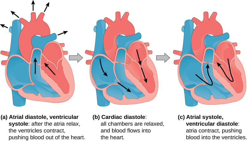 Illustration A shows atrial diastole, ventricular systole; after the atria relax, the ventricles contract, pushing blood out of the heart. Arrows extend from the right and left ventricles through the valves and from the arteries toward the (not depicted) body. Illustration B shows cardiac diastole. The cardiac muscle is relaxed, and blood flows into the heart atria and into the ventricles. Arrows are shown in the atria pointing toward the ventricle and in the ventricle pointing toward the apex of the heart. Illustration C shows atrial systole, ventricular diastole; the atria contract, pushing blood into the ventricles, which are relaxed. Arrows are shown pointing from the atria, through the valve, into the ventricle and toward the other valve. All heart images show the right atrium and ventricle blue and the left atrium and ventricle red.