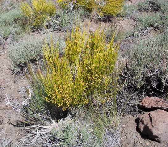 Photo shows Mormon tea, a short, scrubby plant with yellow branches radiating out from a central bundle.
