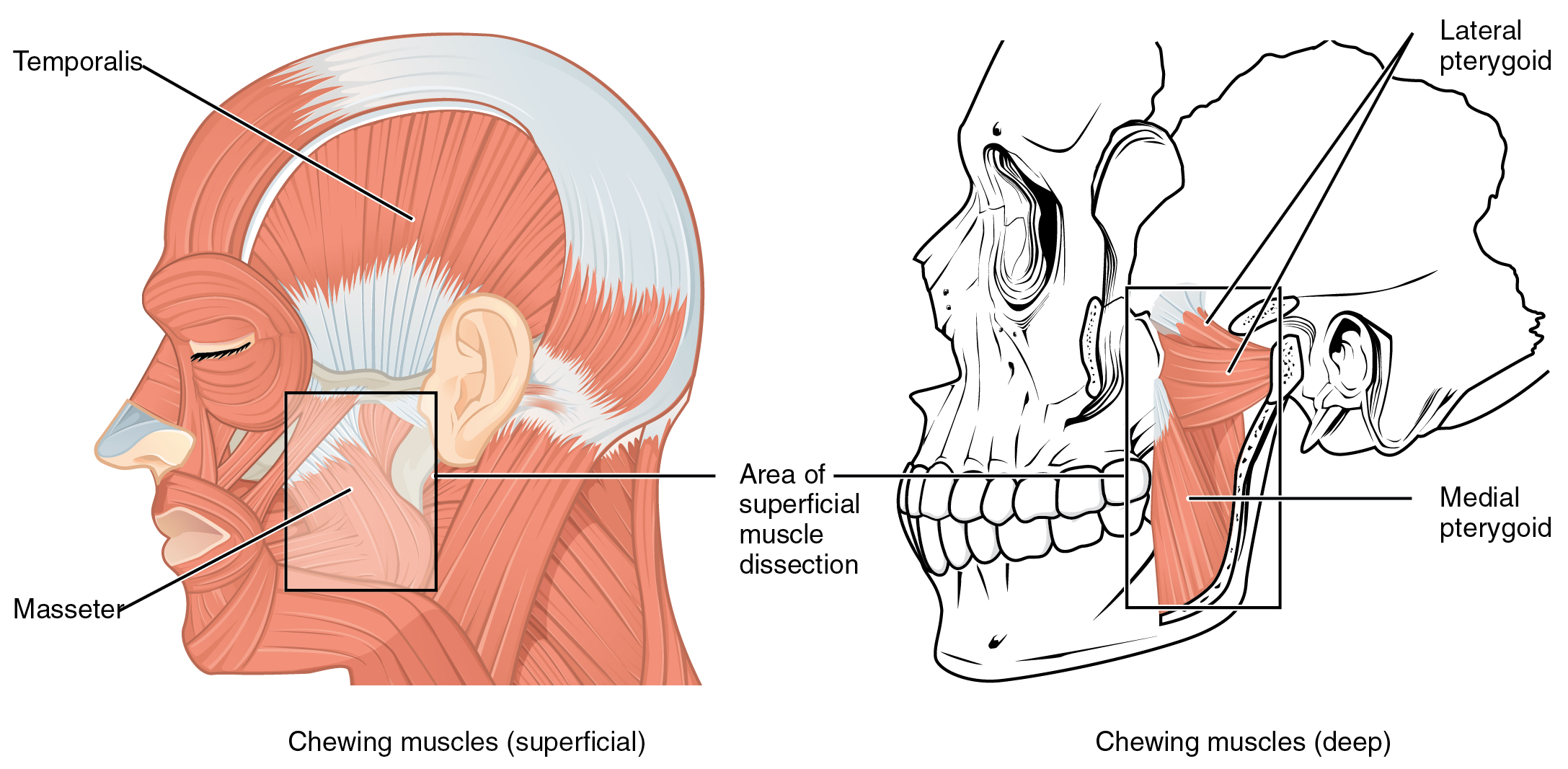 The left panel of this figure shows the superficial chewing muscles in face, and the right panel shows the deep chewing muscles.