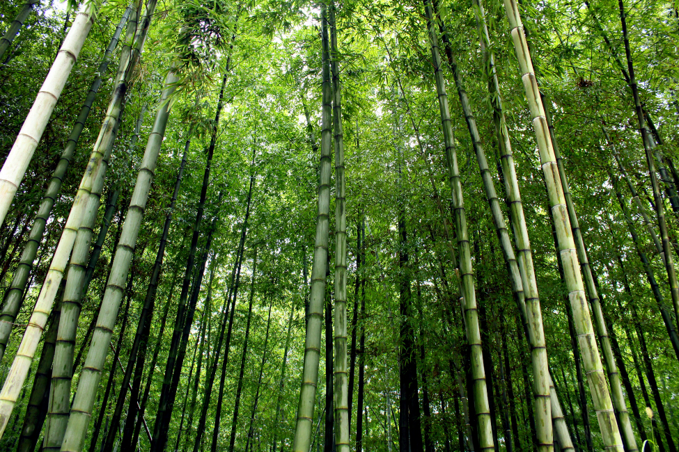 An upward view of bamboo trees.