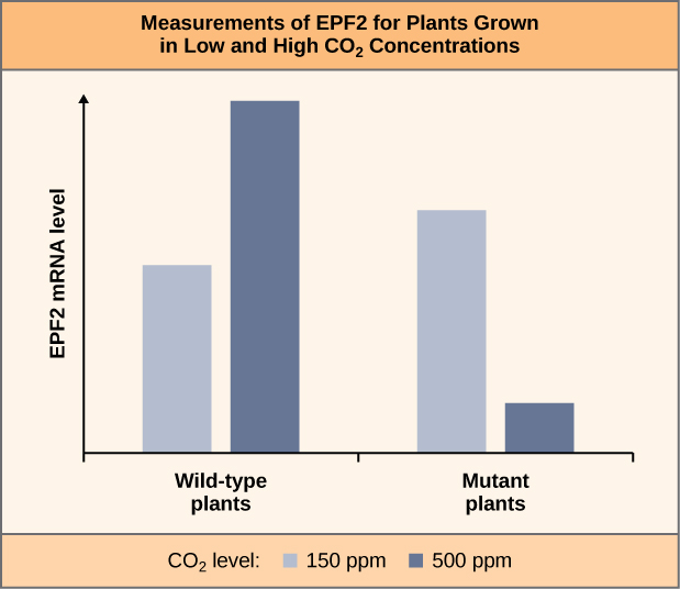 The bar graph is labelled Measurements of E P F 2 for Plants grown in low and High C O 2 concentrations. The Y axis is labelled E P F 2 M R N A level. The x axis contains a blue and a gray bar for wild-type plants, and a blue and a gray bar in mutant plants. A key is labelled C O 2 level and contains the following values: gray equals 150 p p m, blue equals 500 p p m. For the wild type plants, the blue bar is significantly taller than the gray bar. For the mutant plants, the gray bar is significantly taller than the blue bar, but smaller than the blue bar of the wild type plants.