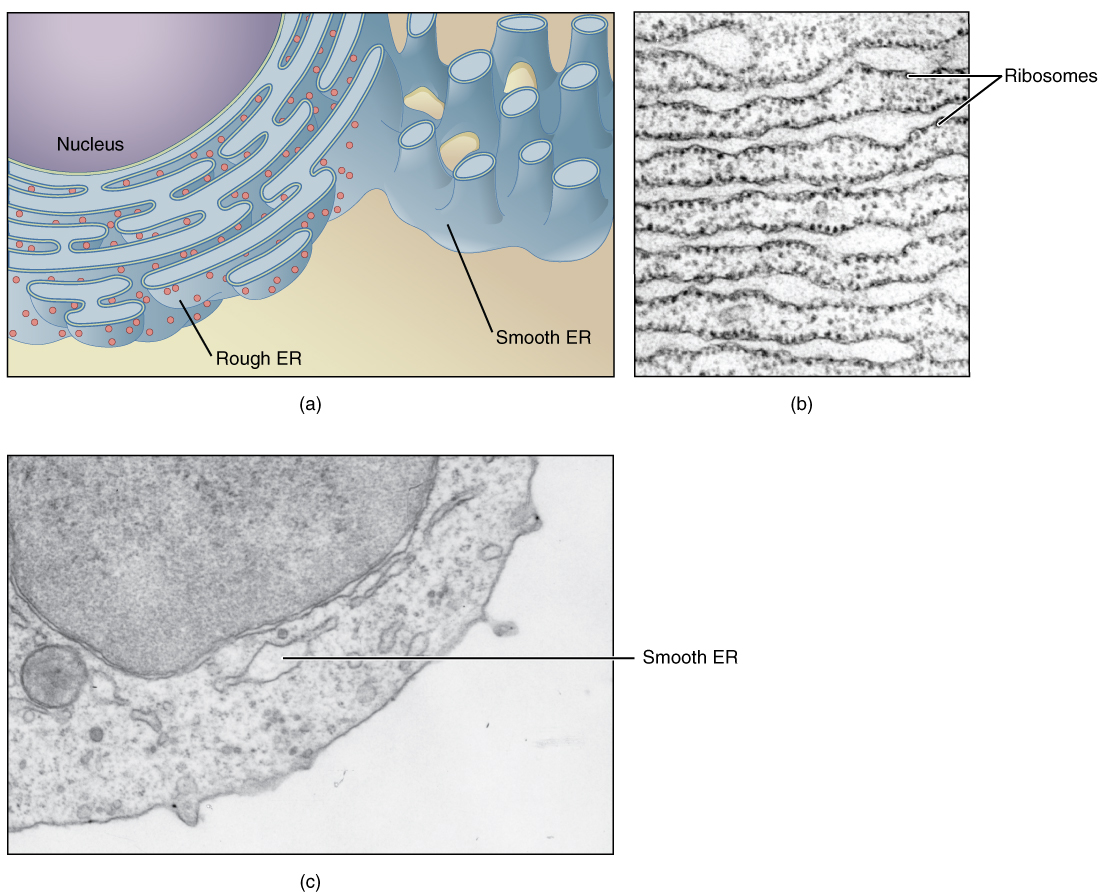 This figure shows structure of the endoplasmic reticulum. The diagram highlights the rough and smooth endoplasmic reticulum and the nucleus is labeled. Two micrographs show the structure of the endoplasmic reticulum in detail. The left micrograph shows the rough endoplasmic reticulum in a pancreatic cell and the right micrograph shows a smooth endoplasmic reticulum.