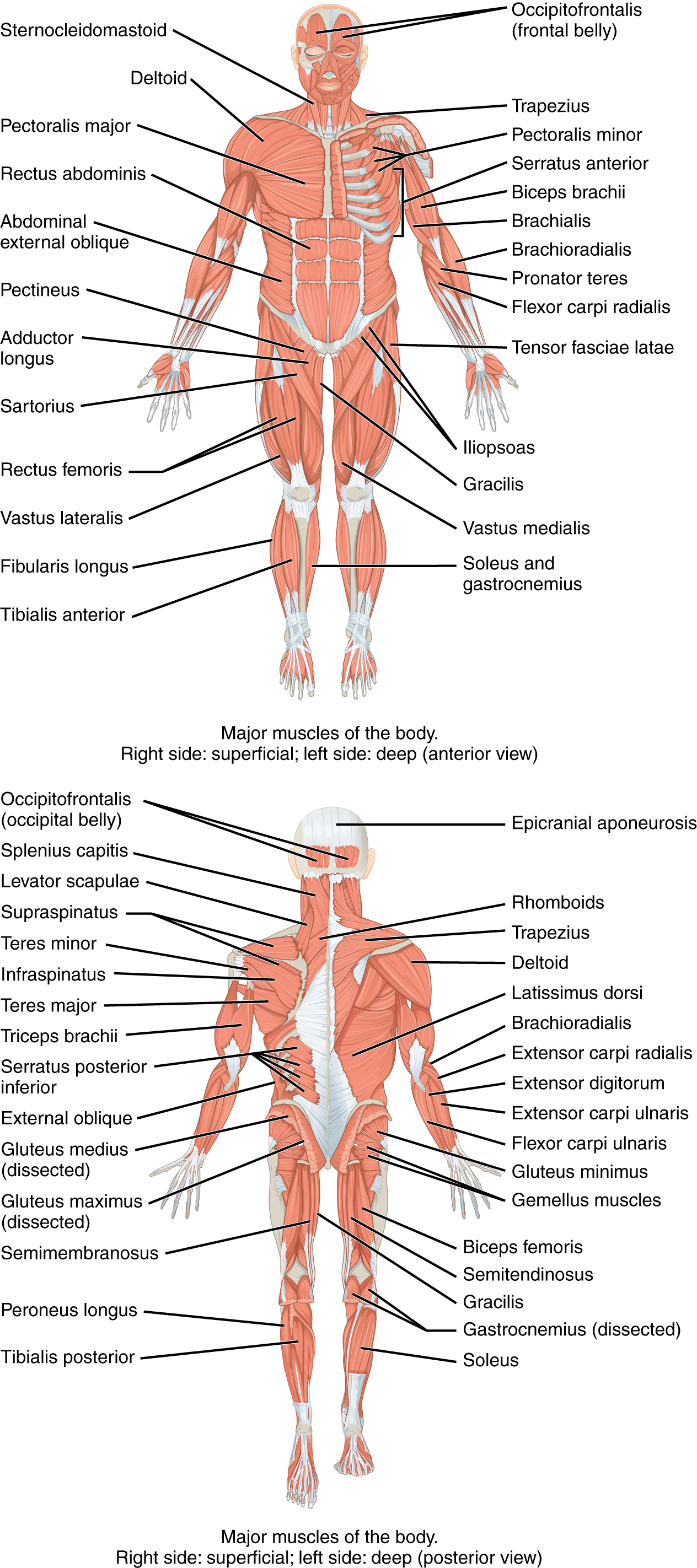 Naming Skeletal Muscles - Anatomy and Physiology - OpenStax