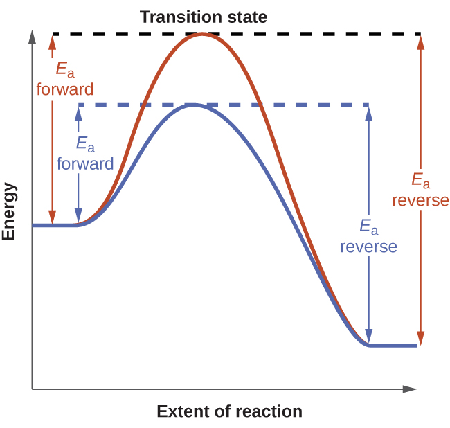 "A graph is shown labeled ""Transition state."" The y-axis on the graph is labeled ""Energy"" and the x-axis is labeled ""Extent of Reaction."" Two curves are plotted on the graph. Both start mid-way up the y-axis. The red curve has a steep initial slope as it increases, then reaches its peak where it meets a horizontal dotted line, then has a steep decline before leveling out. From the initial point to the horizontal line, there is a vertical line with arrows on each end labeled ""E subscript a forward."" From the end point to the horizontal line, there is a vertical line with arrows on each end labeled ""E subscript a reverse."" The second curve is less steep than the first and does not reach as high of a peak on the y-axis. It meets a separate horizontal dotted line at its peak, then declines at a similar rate to the first curve before leveling out with the first curve. From the initial point where the slope begins to increase to the horizontal line, there is a vertical line with arrows on each end labeled ""E subscript a forward."" From the end point right as it levels out to the horizontal line, there is a vertical line with arrows on each end labeled ""E subscript a reverse."""