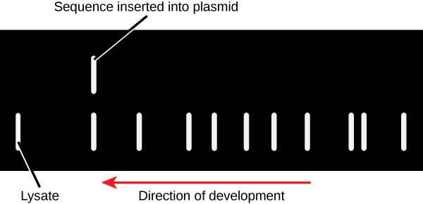 This figures displays the results of a gel run for a lysate the sequence inserted into the plasmid. This figure also point of the direction of development.
