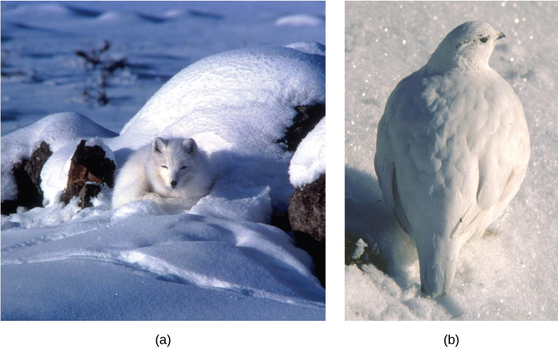 Photo (a) depicts an arctic fox with white fur sleeping on white snow. Photo (b) shows a ptarmigan with white feathers standing on white snow.