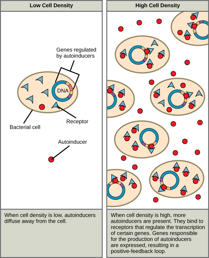 The left part of this illustration shows a single bacterial cell. The cell produces autoinducers, which diffuse away from the cell and cannot bind the intracellular receptor. The right part of this illustration shows many bacterial cells. More autoinducers are present, which bind receptors that in turn bind DNA and regulate the expression of certain genes. Autoinducer gene expression is turned on, resulting in a positive-feedback loop.