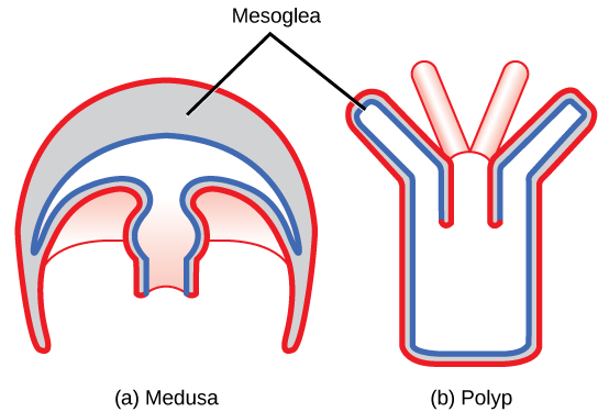 The illustration compares the medusa (a) and polyp (b) body plans. The medusa is dome-shaped, with tentacle-like appendages hanging down from the edges of the dome. The polyp looks like a tree, with a trunk at the bottom and branches at the top. Both the medusa and polyp have two tissue layers, with mesoglea in between. The mesoglea is thicker in the dome of the medusa than in the polyp. Both also have a central body cavity.