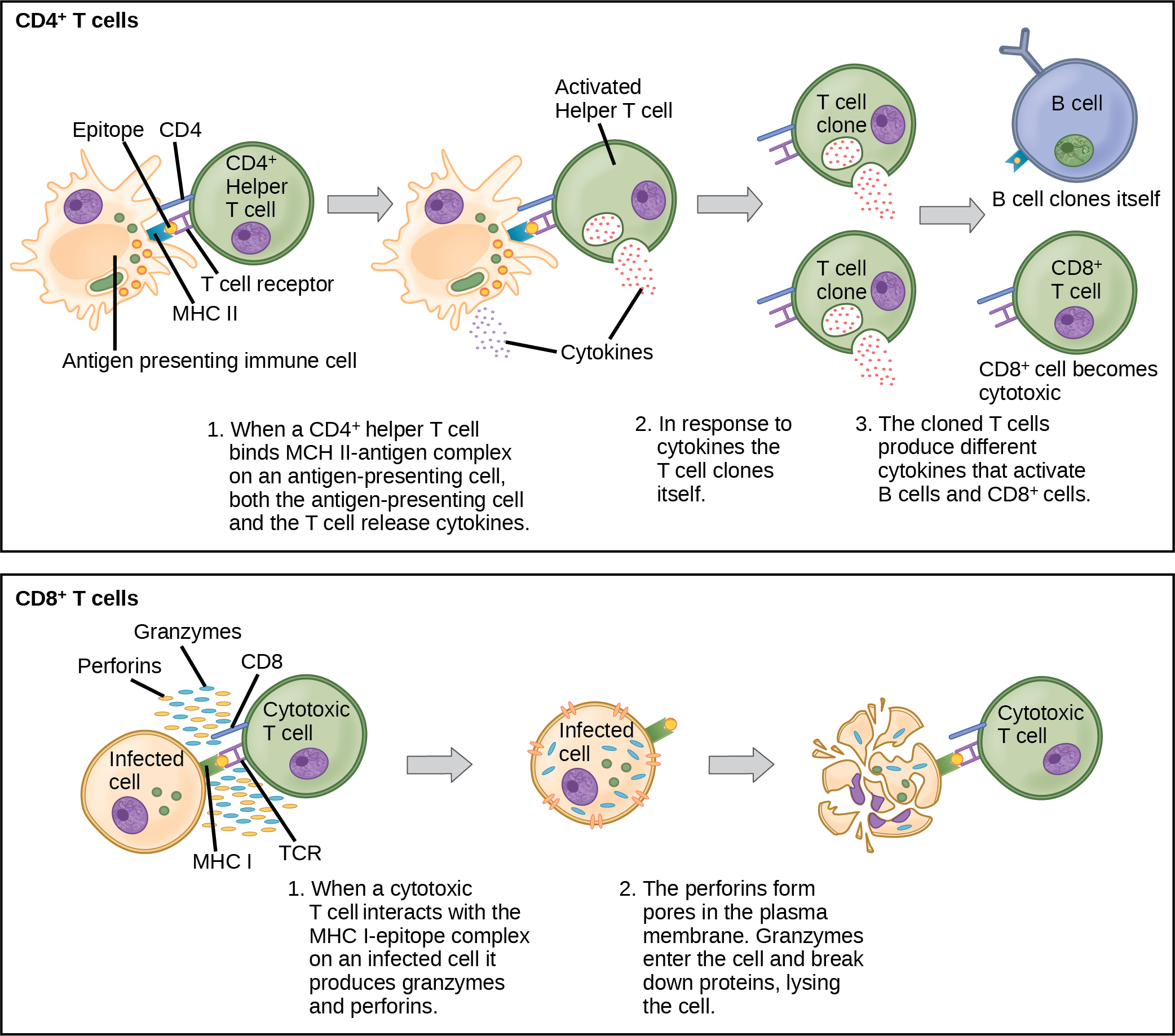 Illustration shows activation of a C D 4 plus helper T cell. An antigen-presenting cell digests a pathogen. Epitopes from this pathogen are presented in conjunction with M H C I I molecules on the cell surface. A T cell receptor and a C D 8 receptor, both on the surface of the T cell, bind the M H C I I epitope complex. As a result, the helper T cell becomes activated and both the helper T cell and antigen-presenting cell release cytokines. The cytokines induce the helper T cell to clone itself. The cloned helper T cells release different cytokines that activate B cells and C D 8 plus T cells, turning them into cytotoxic T cells. The cytotoxic and binds the M H C I epitope complex on an infected cell. The cytotoxic T cell then releases perforin molecules, which form a pore in the plasma membrane, and granzymes, which break down proteins, killing the cell.