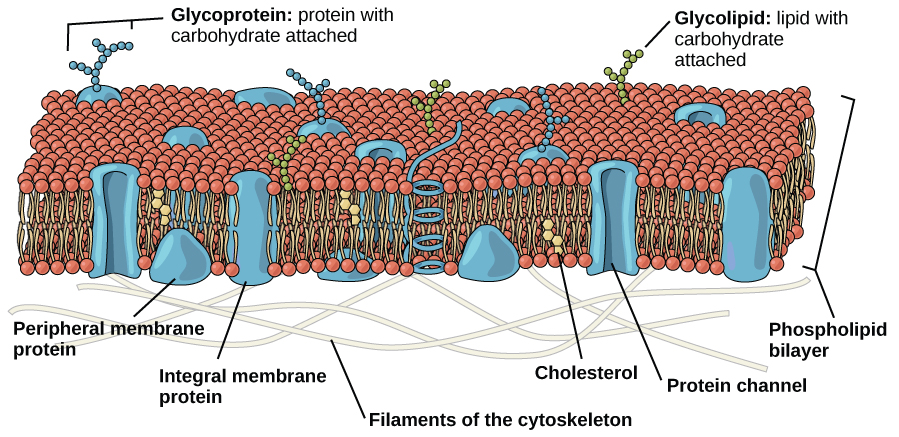 The plasma membrane is composed of a phospholipid bilayer. In the bilayer, the two long hydrophobic tails of phospholipids face toward the center, and the hydrophilic head group faces the exterior. Integral membrane proteins and protein channels span the entire bilayer. Protein channels have a pore in the middle. Peripheral membrane proteins sit on the surface of the phospholipids, and are associated with the phospholipid head groups. On the exterior side of the membrane, carbohydrates are attached to certain proteins and lipids. Filaments of the cytoskeleton line the interior of the membrane.