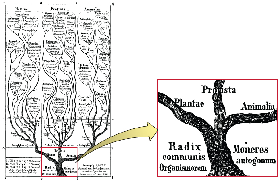 A drawing of a tree. The base of the tree reads: Radix Monera. This branches into three branches labeled Plantae, Protista, and Animalia. Each of these branches branch further; each new branch Is labeled in small text and clusters of branches are identified. For example, clusters of branches in the protista include: Diatomase, flagellate, protoplasta, and spongae.
