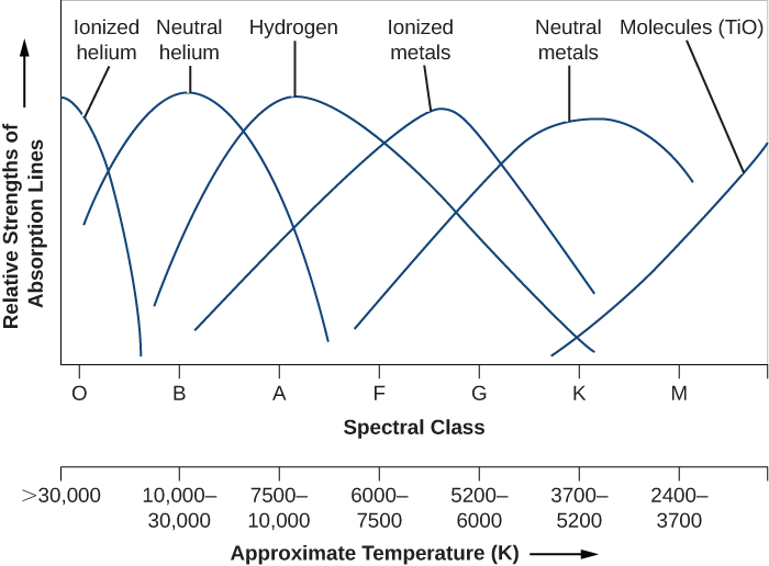 Graph showing the relative strength of absorption lines versus spectral class and temperature. The vertical axis plots the relative strength of lines in arbitrary units. The horizontal axis plots both spectral class and temperature in degrees Kelvin. The spectral classes start at O on the left, then B, A, F, G, K, and M on the right. The temperature scale starts at >30,000 at left, then 30,000-10,000, 10,000-7500, 7500-6000, 6000-5200, 5200-3700, and 3700-2400 on the right. Six curves are plotted, each peaking as follows (from left to right): ionized helium peaks at spectral type O, neutral helium peaks at B, hydrogen peaks at about A, ionized metals peak between F and G, neutral metals peak at K, and molecules peak beyond M at right.