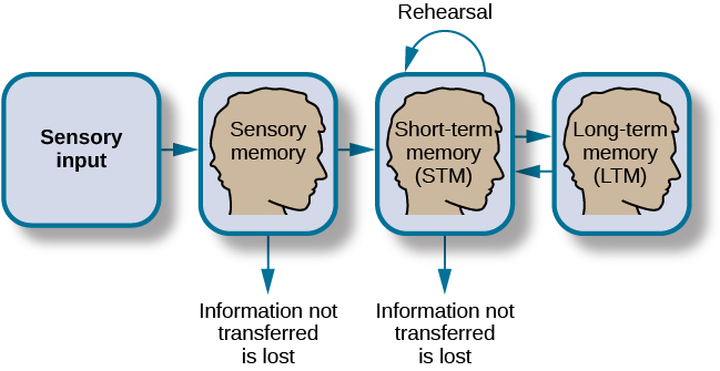 "A flow diagram consists of four boxes with connecting arrows. The first box is labeled ""sensory input."" An arrow leads to the second box, which is labeled ""sensory memory."" An arrow leads to the third box which is labeled ""short-term memory (STM)."" An arrow points to the fourth box, labeled ""long-term memory (LTM),"" and an arrow points in the reverse direction from the fourth to the third box. Above the short-term memory box, an arrow leaves the top-right of the box and curves around to point back to the top-left of the box; this arrow is labeled ""rehearsal."" Both the ""sensory memory"" and ""short-term memory"" boxes have an arrow beneath them pointing to the text ""information not transferred is lost."""