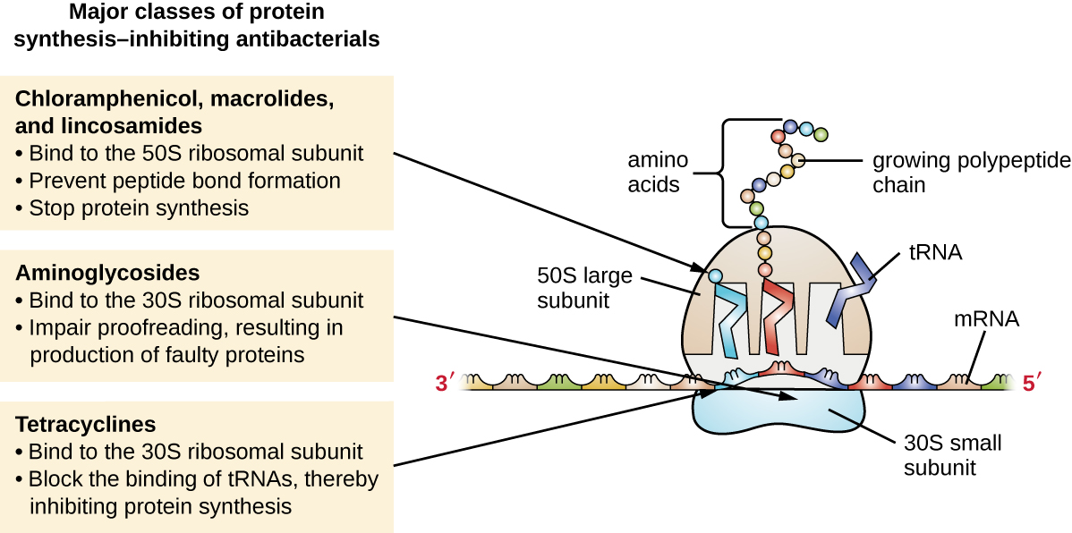 Major classes of protein synthesis-inhibiting antibacterials. Cloramphenicol, macrolides, and lincosamides: bind to 50S ribosomal subunit, prevent peptide bond formation, stop protein synthesis. Aminoglycosides: bind to the 30S ribosomal subunit, implar proofreading, resulting in production of faulty proteins. Tetracyclines: bind to the 30S ribosomal subunit, block the binding of tRNAs, thereby inhibiting protein synthesis.