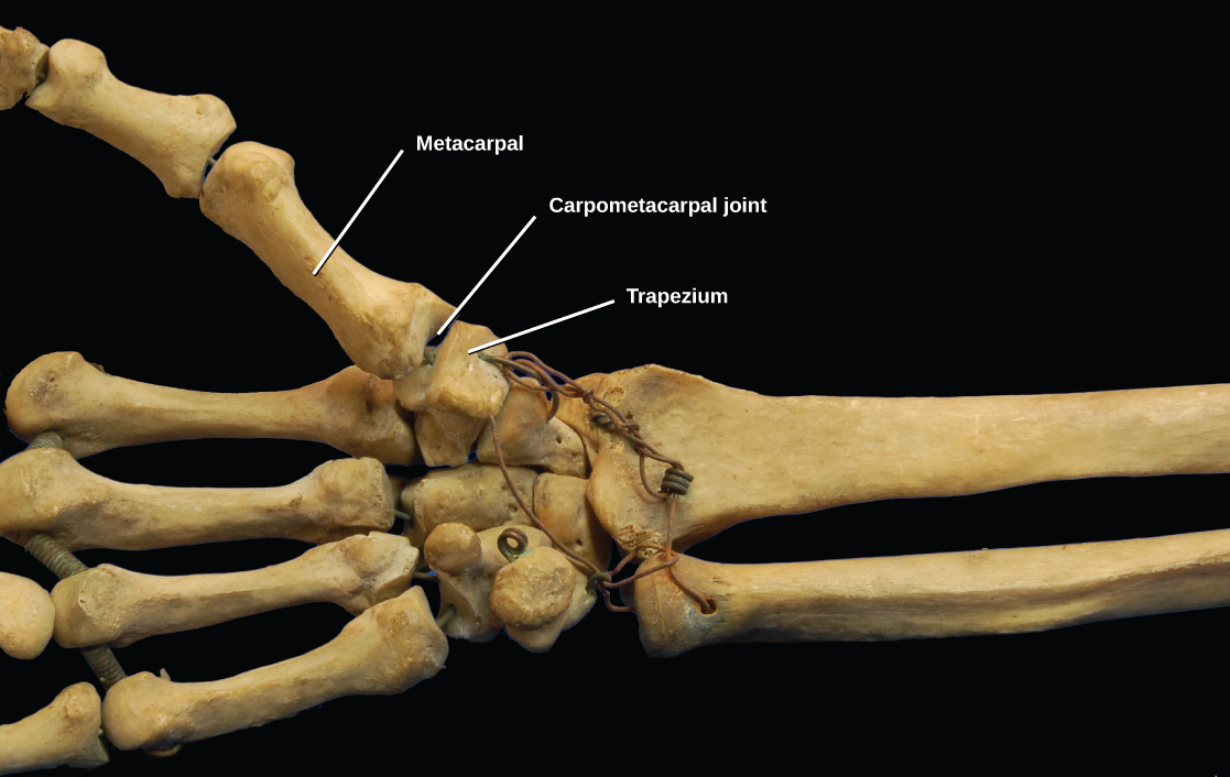 Photo shows the carpometacarpal joint that connects the metacarpal of the thumb to the trapezium of the wrist. Each bone is saddle-shaped at the end.