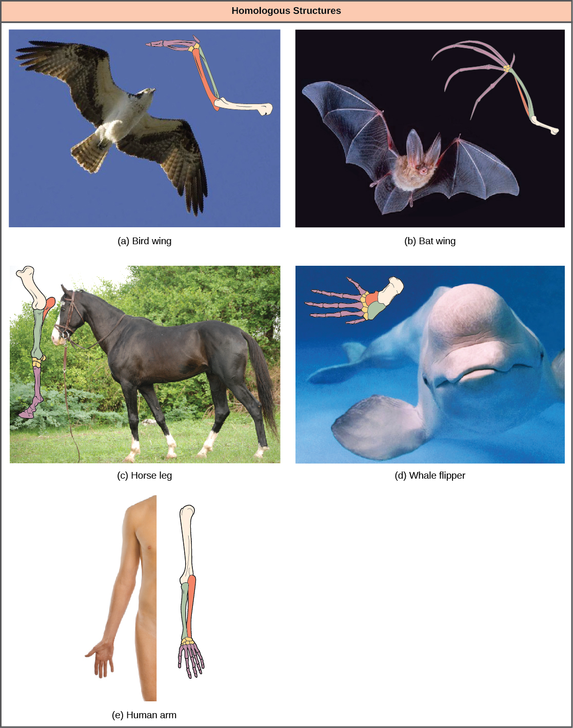 Photo A shows a bird in flight, with a corresponding drawing of bird wing bones. Photo B shows a bat in flight with a corresponding drawing of bat wing bones. Photo C shows a horse, with a corresponding drawing of front leg bones. Photo D shows a beluga whale, with a corresponding drawing of flipper bones. Photo E shows a human arm, with a corresponding drawing of arm bones. All the limbs share common bones, analogous to the bones in the arms and fingers of humans. However, in the bat wing, finger bones are long and separate and form a scaffolding on which the wing's membrane is stretched. In the bird wing, the finger bones are fused together. In the horse leg, the ulna is shortened and is fused to the radius. The hand bones are reduced to one long thick bone and the finger bones are reduced to one long thick finger with a modified nail or hoof. In the whale flipper, the humerus, ulna, and radius are very short and thick.