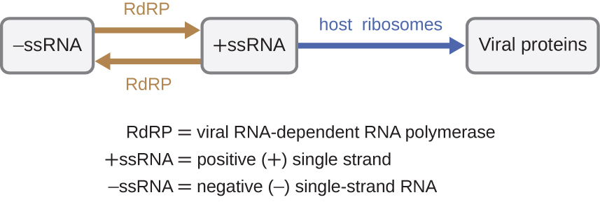 Viruses with −ssRNA (negative single-stranded RNA) use RdRP (viral RNA-dependent RNA polymerase) to make +ssRNA (positive single stranded RNA). RdRP can also be used to covert +ssRNA to −ssRNA. +ssRNA uses host ribosomes to make viral proteins.