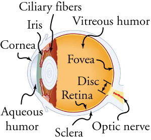 This schematic is a cross-section of the various parts of the eye.