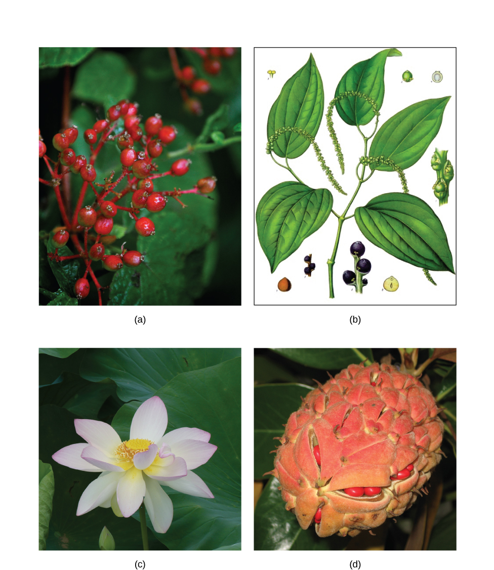 Photo A depicts a common spicebush plant with bright red berries growing at the tips of red stems. Illustration B shows a pepper plant with teardrop-shaped leaves and tiny flowers clustered on a long stem. Photo C shows lotus plants with broad, circular leaves and pink flowers growing in water. Photo D shows red magnolia seeds clustered in an egg-shaped pink sac scattered with small, brown spikes.