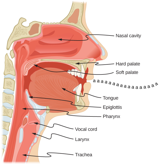 Picture is a schematic diagram of the mouth and a throat system. Air travels from trachea to the larynx, pharynx, and mouth. Vocal cord is located between larynx and pharynx. Epiglottis is located above pharynx. Tongue is located in the mouth. Soft palate tops the mouth. Hard palate separates mouth from the nasal cavity.