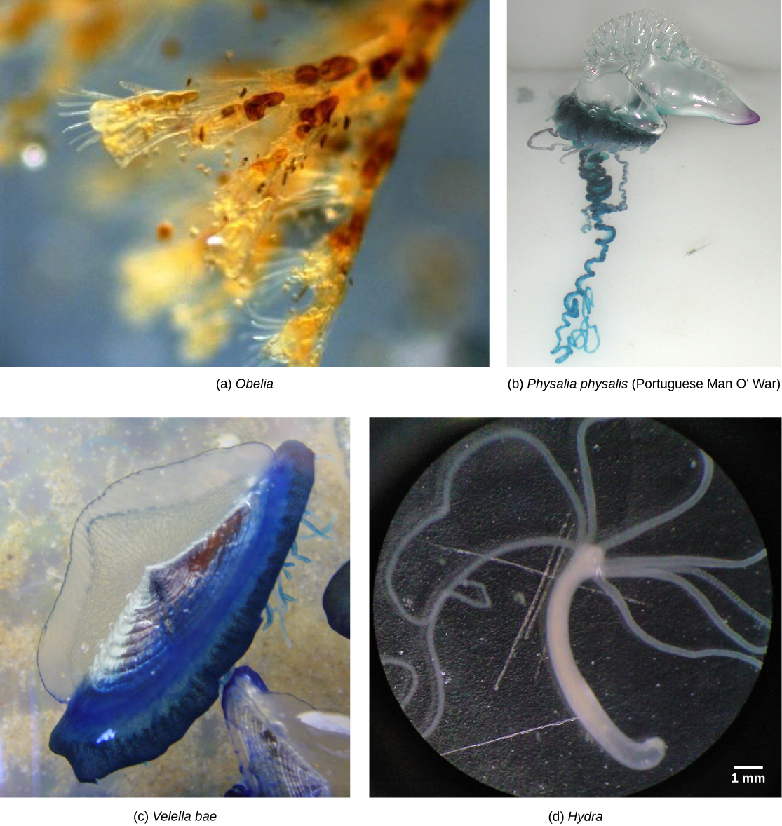 Photo a shows Obelia, which has a body composed of branching polyps. Photo b shows a Portuguese Man O War, which has ribbon-like tentacles dangling from a clear, bulbous structure, resembling an inflated plastic bag. Photo c shows Velella bae, which resembles a flying saucer with a blue bottom and a clear, dome-shaped top. Photo d shows a hydra with long tentacles, extending from a tube-shaped body.