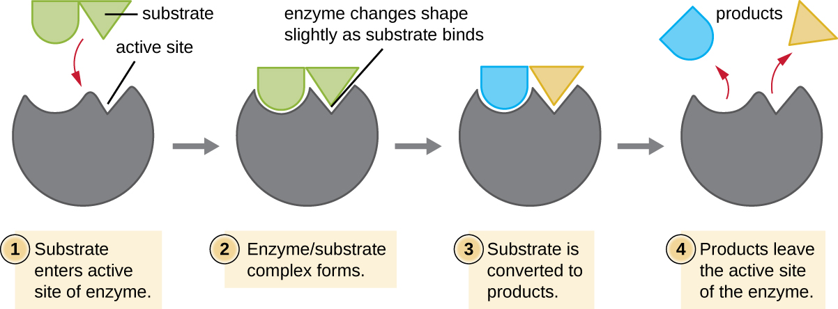 Diagram of enzyme. 1: substrate enters the active site of the enzyme. The drawing shows a relatively spherical enzyme with an opening (labeled active site) that fits the shape of the substrate. 2: Enzyme/substrate complex forms. The diagram shows the substrate binding to the opening in the enzyme and the enzyme changing shape slightly to better fit the substrate. 3: Substrate is converted to products. This is shown by the substrate breaking in half. 4: Products leave the active site of the enzyme.