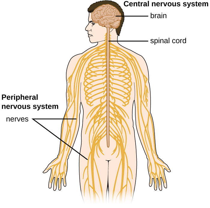 Diagram of the nervous system. The central nervous system is made of the brain and spinal cord. The peripheral nervous system is made of ganglions (near the spinal cord) and nerves that run throughout the body.