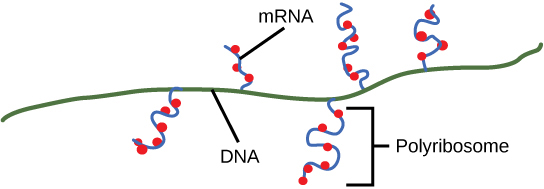 Illustration shows multiple mRNAs being transcribed off one gene. Ribosomes attach to the mRNA before transcription is done and begin making protein.