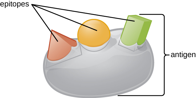 A drawing of an antigen as a large sphere with different shapes on the surface labeled epitopes.