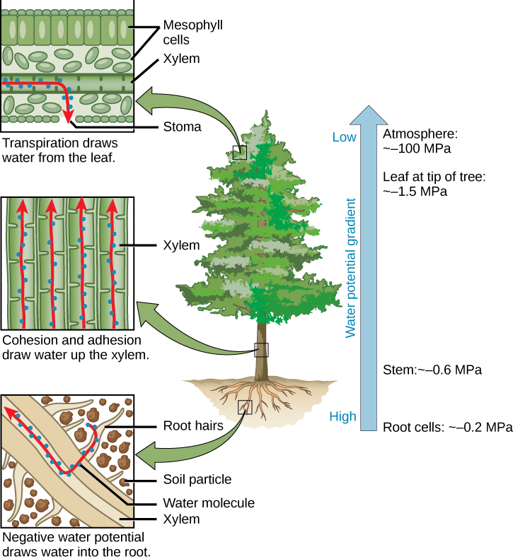 Illustration shows a pine tree. A blowup of the root indicates that negative water potential draws water from the soil into the root hairs, then into the root xylem. A blowup of the trunk indicates that cohesion and adhesion draws water up the xylem. A blowup of a leaf shows that transpiration draws water from the leaf through the stoma. Next to the tree is an arrow showing water potential, which is low at the roots and high in the leaves. The water potential varies from ~–0.2 MPA in the root cells to ~–0.6 MPa in the stem and from ~–1.5 MPa in the highest leaves, to ~–100 MPa in the atmosphere.