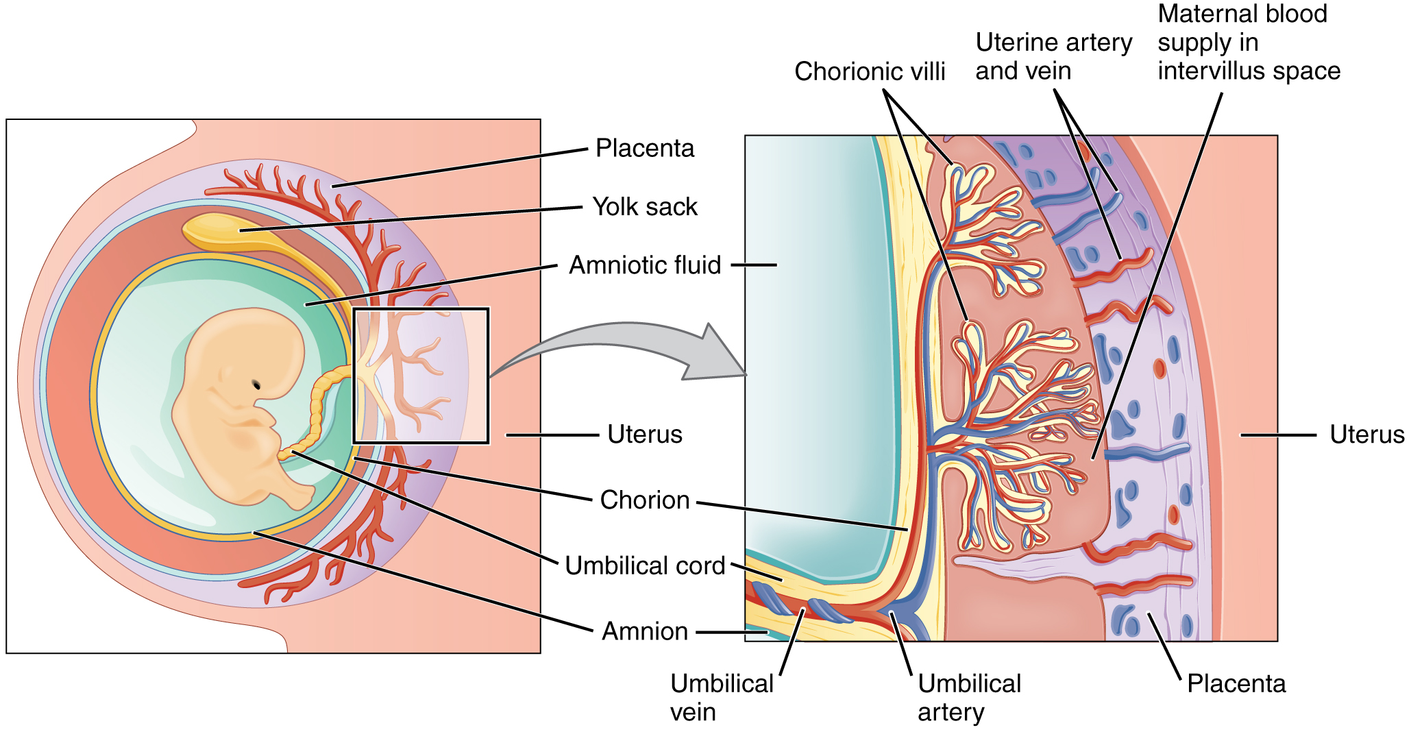 Figure 28.11 Cross-Section of the Placenta