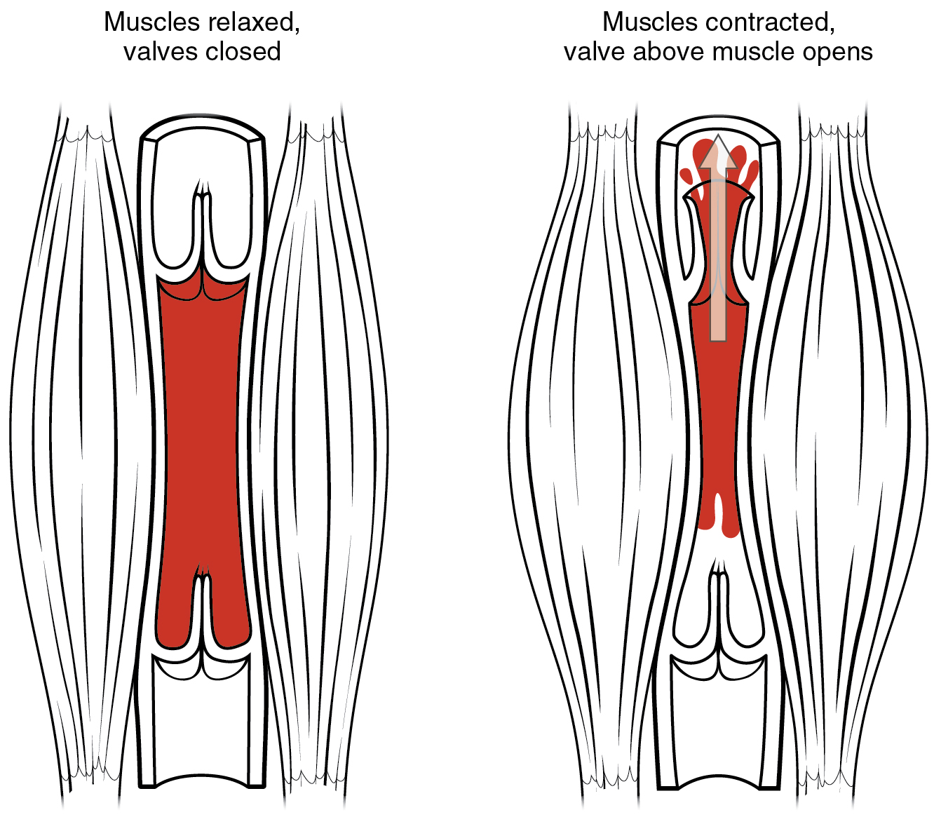 The left panel shows the structure of a skeletal muscle vein pump when the muscle is relaxed, and the right panel shows the structure of a skeletal muscle vein pump when the muscle is contracted.