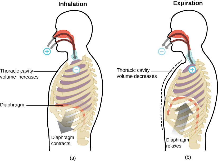 "Two figures of the human respiratory system are shown. The human labeled ""Inhalation"" has a plus sign outside the nose and mouth with arrows pointing from the plus into the nose and mouth, down to the lungs where there is a negative sign. An arrow from the bottom of the diaphragm points toward the abdomen, labeled, ""Diaphragm contracts."" There is also a line touching the chest with the text, ""Thoracic cavity volume increases."" The human labeled ""Expiration"" has a negative sign outside the nose and mouth with arrows pointing from the negative into the nose and mouth, down to the lungs where there is a plus sign. There is a dashed line imposed on the figure where the chest was on the ""Inhalation"" figure and the solid line for this figure is to the inside of it. This is labeled with a line and the text, ""Thoracic cavity volume decreases."" There is also an arrow from the abdomen up toward the lungs labeled ""Diaphragm relaxes."" The lungs in this image are much smaller than that in the first."