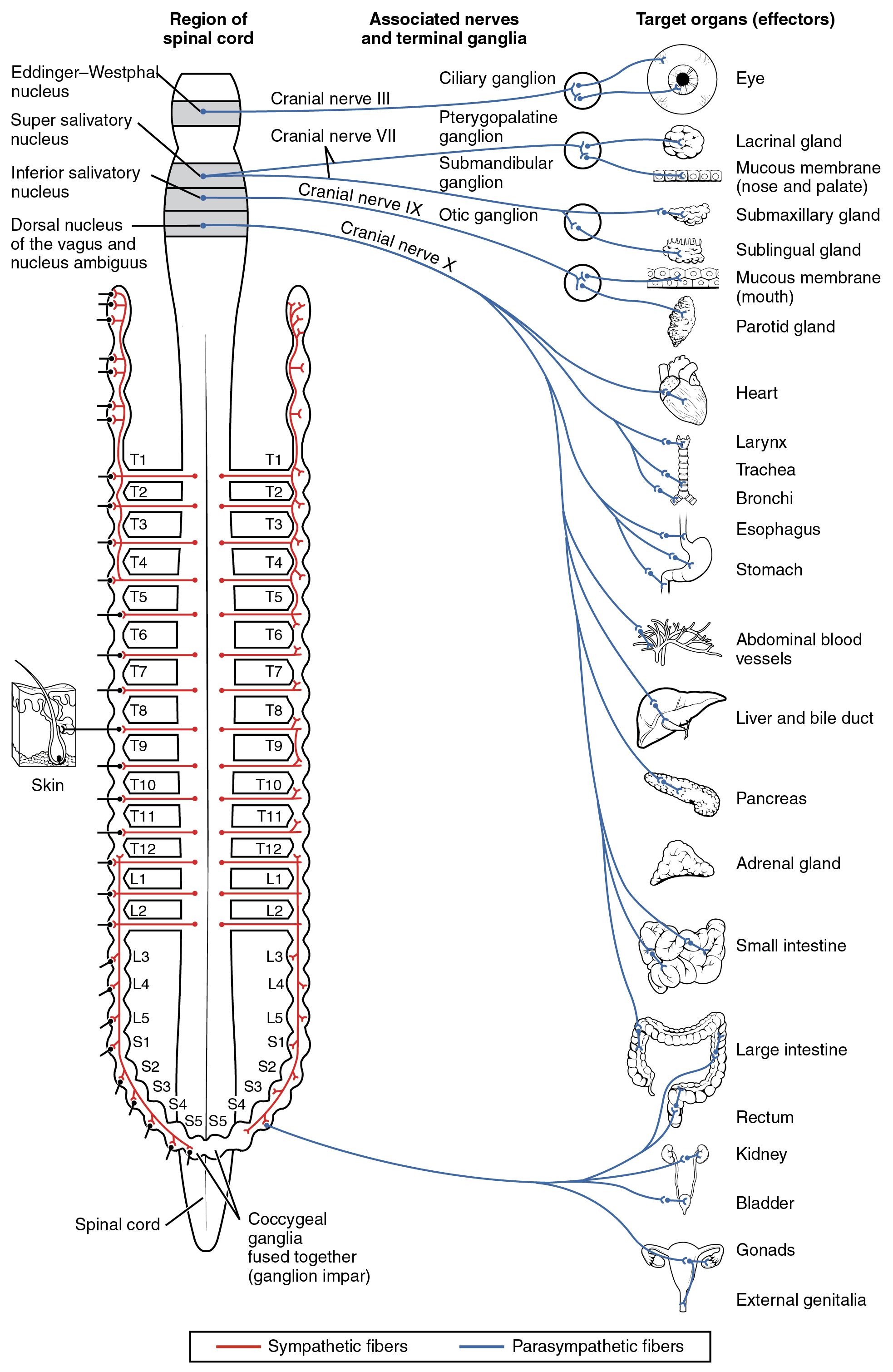 This diagram shows the spinal cord and has different central nerves emerging from it. The central nerves target different effector organs that are listed on the right.
