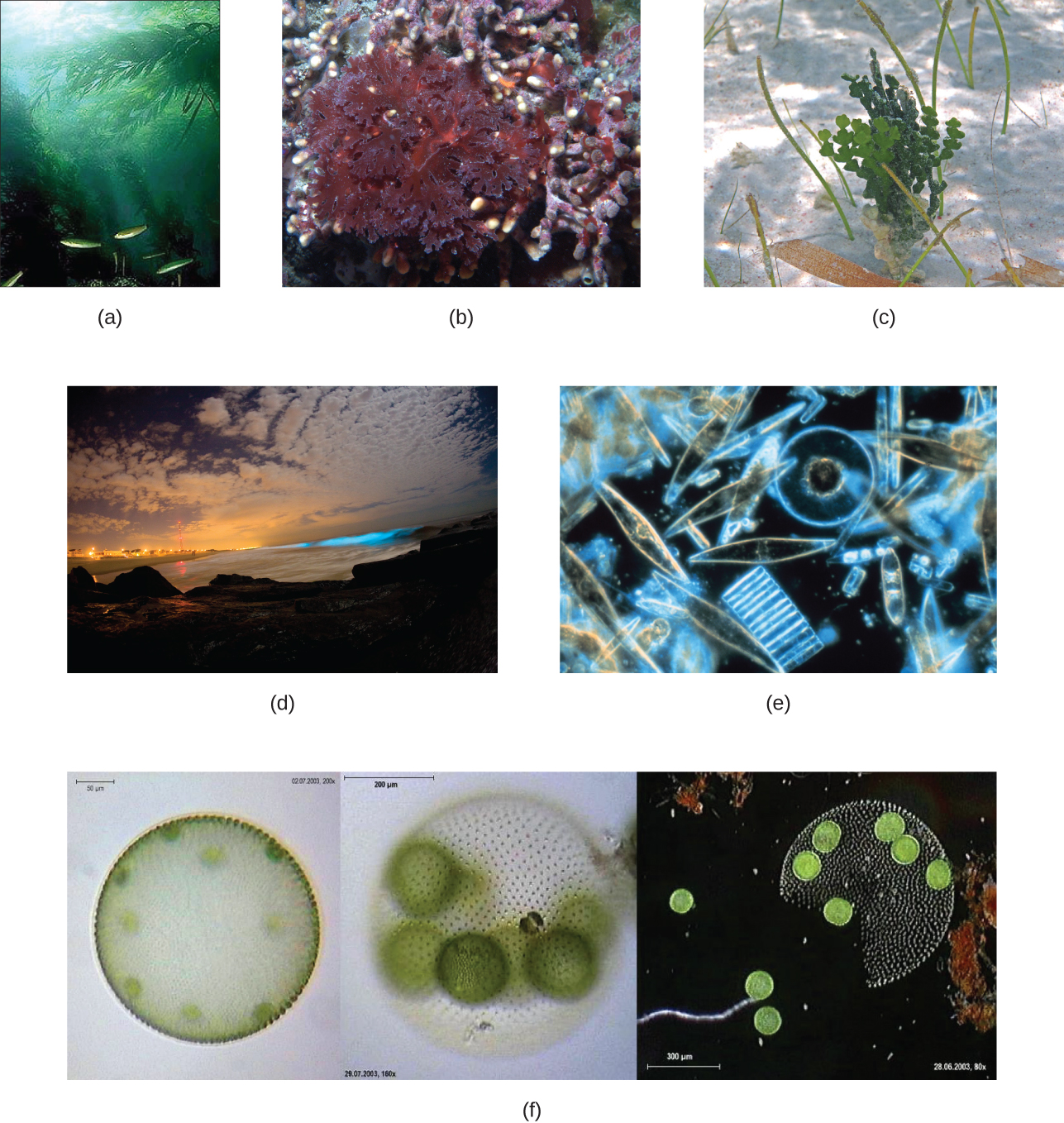 a) A photograph of long green kelp in the ocean b) A photograph of a red leafy structure. C) A photograph of a green leafy structure. D) a photograph of lighted regions of a waterway. E) A micrograph of cells of various shapes that look like they are made out of glass. F) a micrograph of a sphere made of many greed dots. Smaller greens spheres can be seen inside the larger sphere. The smaller spheres are released when the larger one ruptures.