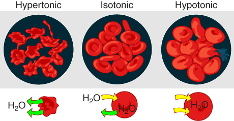 This image shows how a red blood cell responds to the tonicity of solution. The left panel shows the hypertonic case, the middle panel shows the isotonic case and the right panel shows the hypotonic case.