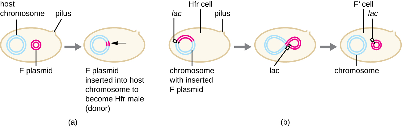 A cell contains host chromosome (large loop of DNA), F plasmid (small loop of DNA) and a pilus (projection out of the cell). The F plasmid is inserted into the host chromosome to become Hfr male (donor). When the plasmid is removed from the host chromosome, genes from the chromosome (such as lac) may move from the chromosome to the plasmid. In this case the cell becomes an F' cell.