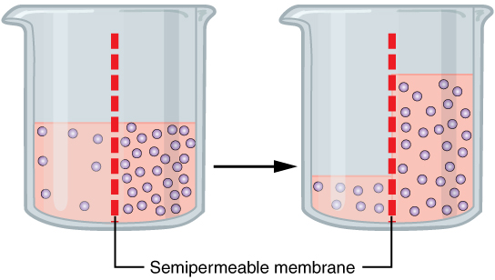 This figure shows the diffusion of water through osmosis. The left panel shows a beaker with water and different solute concentrations. A semipermeable membrane is present in the middle of the beaker. In the right panel, the water concentration is higher to the right of the semipermeable membrane.