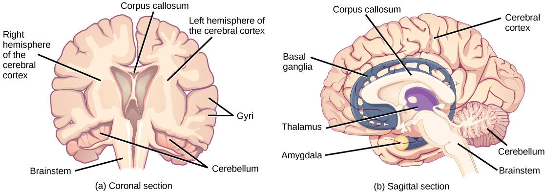 Illustration shows coronal (front) and sagittal (side) sections of a human brain. In the coronal section, the large upper part of the brain, called the cerebral cortex, is divided into left and right hemispheres. A cavity resembling butterfly wings exists between the left and right cortex. The corpus callosum is a band that connects the two hemispheres together, just above this cavity. The surface of the cerebral cortex contains bumpy protrusions called gyri. The cerebral cortex is anchored by the brain stem, which connects with the spinal cord. On either side of the brainstem tucked beneath the cerebral cortex is the cerebellum. The surface of the cerebellum is bumpy, but not as bumpy as the cerebral cortex. The sagittal section reveals that the cerebral cortex makes up the front and top part of the brain, while the brainstem and cerebellum make up the lower back part. The oval thalamus sits in the cavity in the middle of the cerebral cortex. The corpus callosum wraps around the top part thalamus. The basal ganglia wraps around the corpus callosum, starting at the lower front part of the brain and continuing three-quarters of the way around so the back end almost meets the front end. The basal ganglia is separated into segments that are connected along the top and bottom. The amygdala is a spherical structure at the end of the basal ganglia.