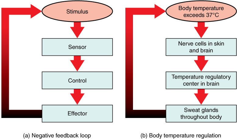 This figure shows three flow charts labeled A, B, and C. Chart A shows a general negative feedback loop. The loop starts with a stimulus. Information about the stimulus is perceived by a sensor which sends that information to a control center. The control center sends a signal to an effector, which then feeds back to the top of the flow chart by inhibiting the stimulus. Part B shows body temperature regulation as an example of negative feedback system. Here, the stimulus is body temperature exceeding 37 degrees Celsius. The sensor is a set of nerve cells in the skin and brain and the control center is the temperature regulatory center of the brain. The effectors are sweat glands throughout the body which inhibit the rising body temperature.
