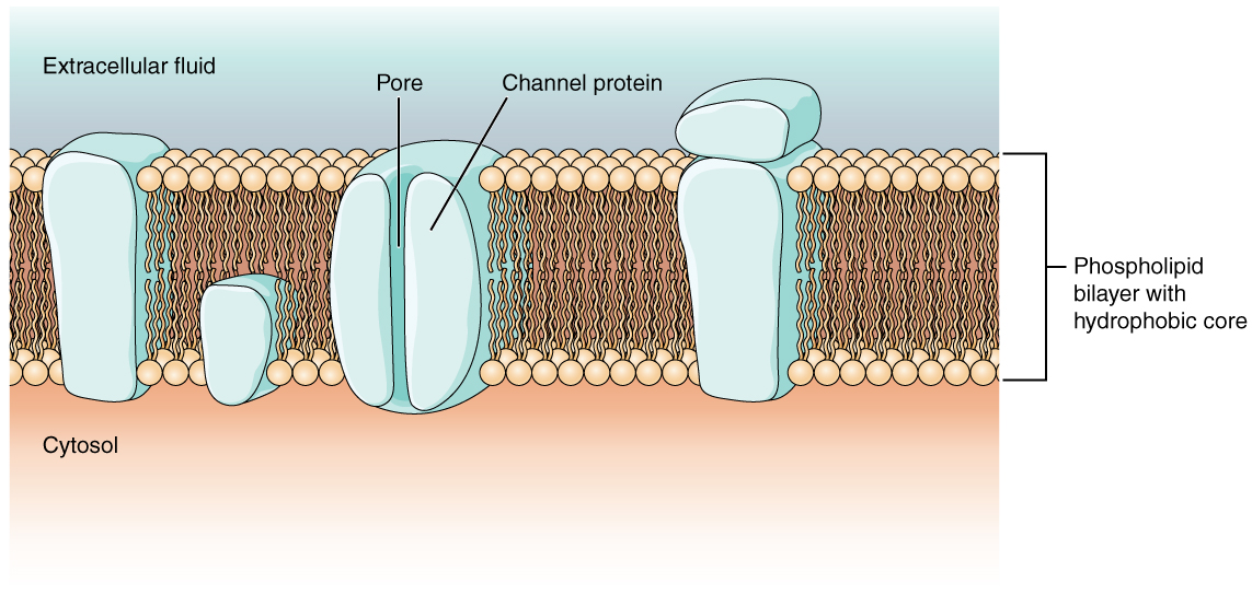This diagram shows a cross section of a cell membrane. The cell membrane proteins are large, blocky, objects. Peripheral proteins are not embedded in the phospholipid bilayer. The peripheral protein shown here is attached to the outside surface of another protein on the extracellular fluid side. Integral proteins are embedded between the phospholipids of the cell membrane. The transmembrane integral protein extends through both phospholipids layers. The opposite ends of this protein project into the cytosol and the extracellular fluid. A second, smaller integral protein only extends into the inner phospholipid layer. Its opposite end projects into the cytosol. This second protein is, therefore, not a transmembrane protein. The channel protein is cylinder shaped with a hollow internal tube labeled the pore. The sides of the channel protein can bulge inward to close the pore.