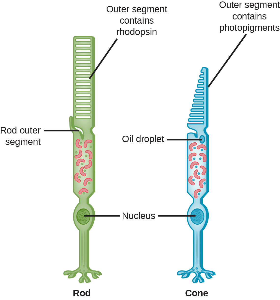 This illustration shows that rods and cones are both long, column-like cells with the nucleus located in the bottom portion. The rod is longer than the cone. The outer segment of the rod contains rhodopsin. The outer segment of the cone contains other photo-pigments. An oil droplet is located beneath the outer segment.