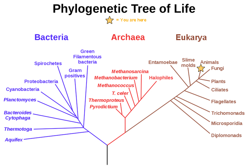 This phylogenetic tree shows that the three domains of life, bacteria, archaea and eukarya, all arose from a common ancestor.