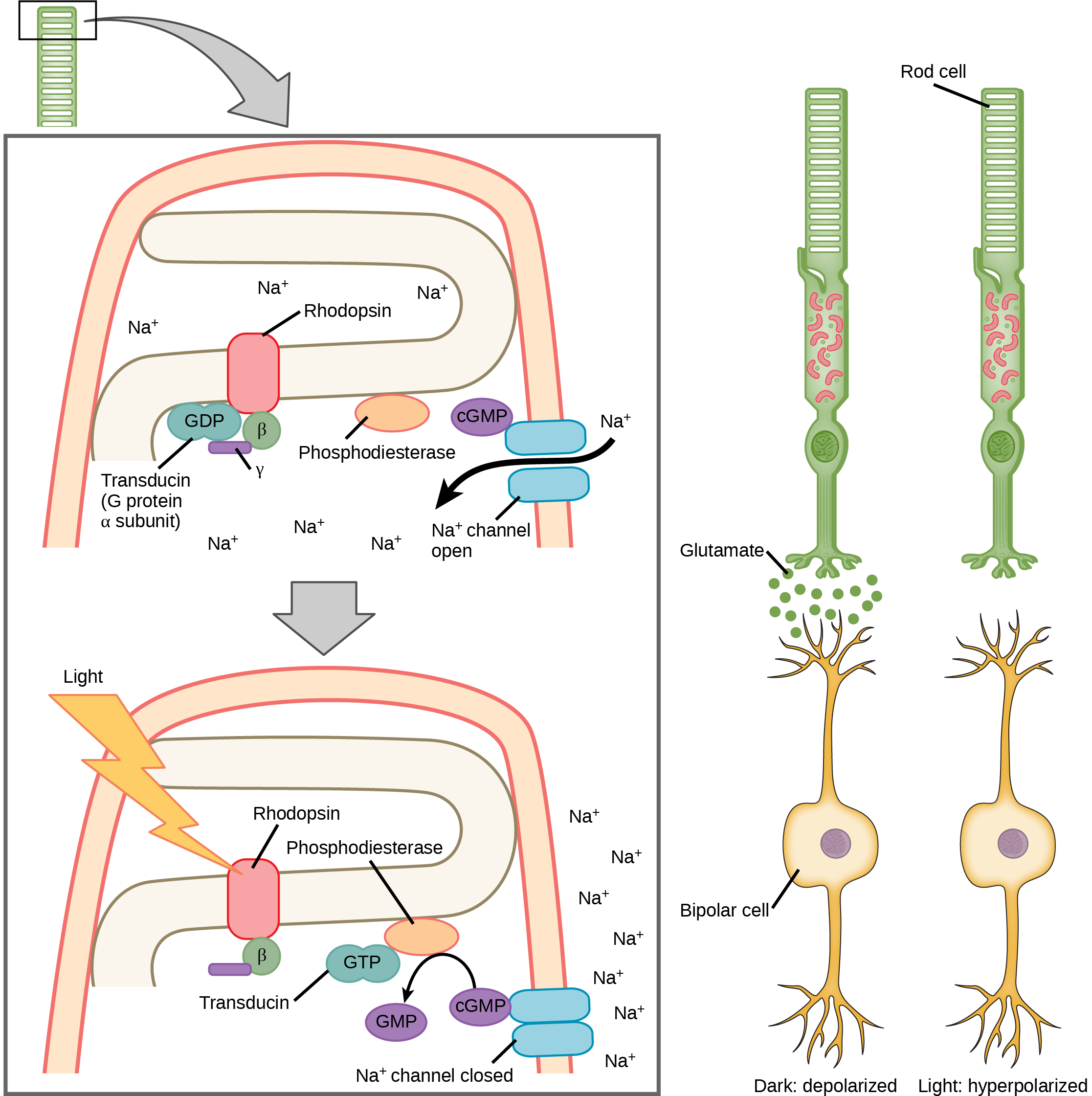 Illustration A shows the signal transduction pathway for rhodopsin, which is located in internal membranes at the top of rod cells. When light strikes rhodopsin, a G protein called transducing is activated. Transducin has three subunits, alpha, beta and gamma. Upon activation, G D P on the alpha subunit is replaced with G T P. The subunit dissociates, and binds phosphodiesterase. Phosphodiesterase, in turn, converts c G M P to G M P, which closes sodium ion channels. As a result, sodium can no longer enter the cell, and the membrane becomes hyperpolarized. Illustration b shows that the tall, thin rod cell is stacked on top of a bipolar nerve cell. In the dark the membrane is depolarized, and glutamate is released from the rod cell to the axon terminal of the bipolar cell. In the light, no glutamate is released.