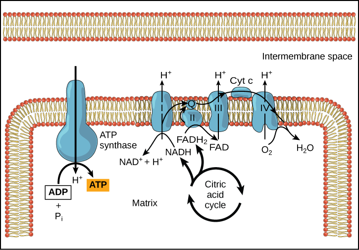 This illustration shows the electron transport chain, the ATP synthase enzyme embedded in the inner mitochondrial membrane, and the citric acid cycle occurring in the mitochondrial matrix. The citric acid cycle feeds NADH and FADH_{2} to the electron transport chain. The electron transport chain oxidizes these substrates and, in the process, pumps protons into the intermembrane space. ATP synthase allows protons to leak back into the matrix and synthesizes ATP.